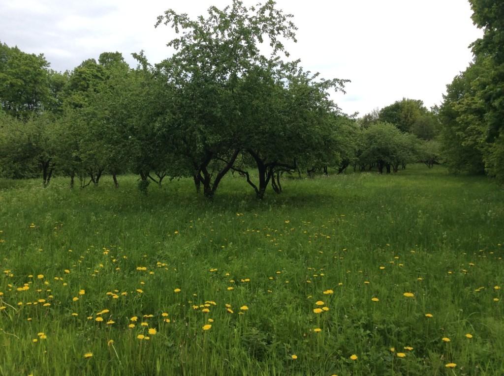 Остатки яблоневого сада