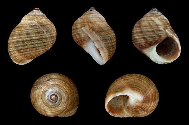 Литориновый моллюск