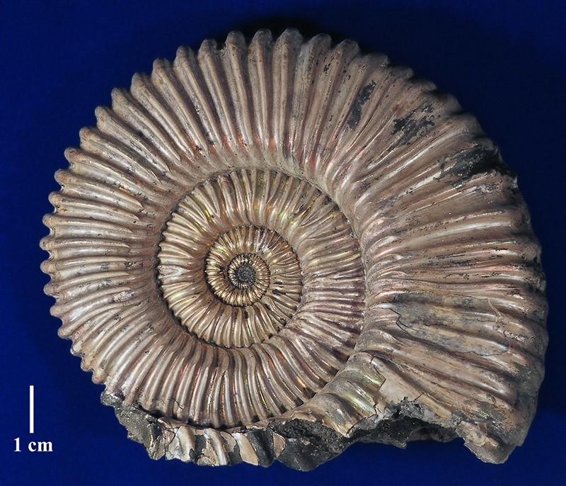 Раковина ископаемого головоногого моллюска - аммонита Peltoceras eugenii.