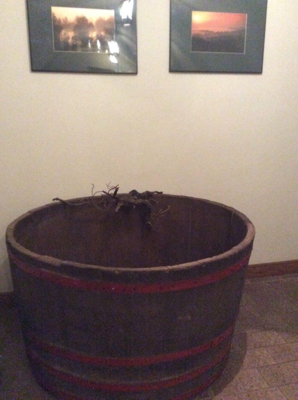 старый венгерский чан возрастом более 100 лет с виноградным корнем