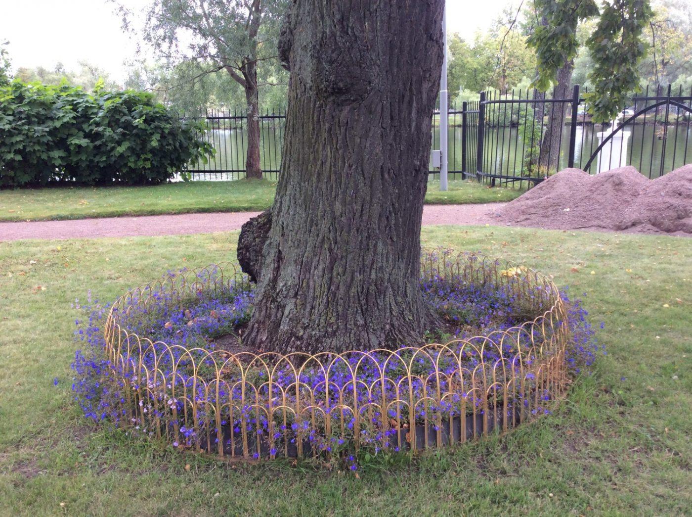 Петергофский дуб с американскими корнями