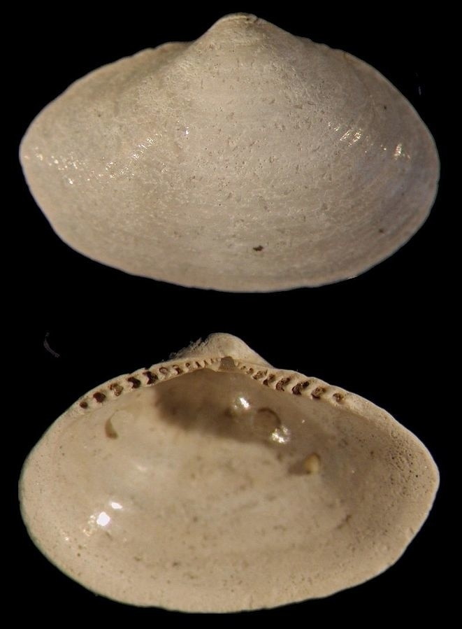 Моллюск Portlandia arctica.