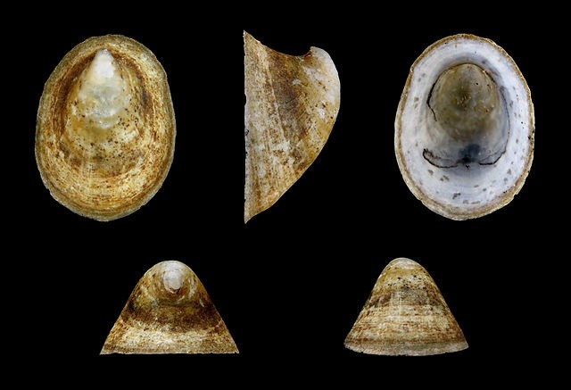 Раковина моллюска Ancylus fluviatilis